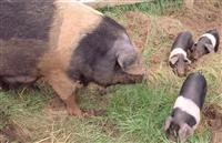Sow and piglets.